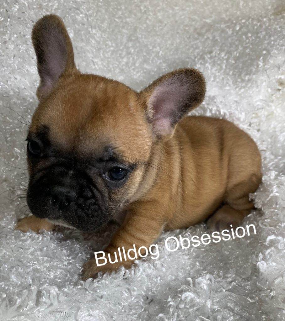 Lola came from Saphire and Marshall's litter of  French Bulldogs