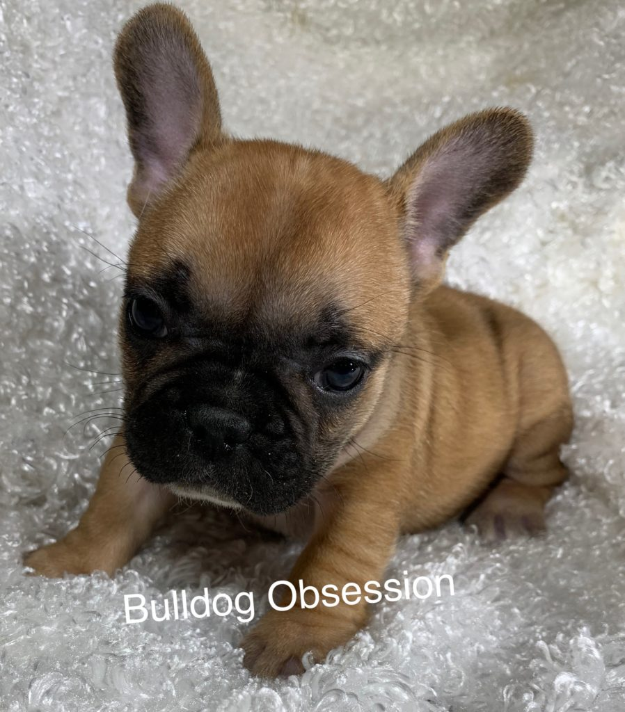 Lola is an  French Bulldog that should have Nice and Compact.