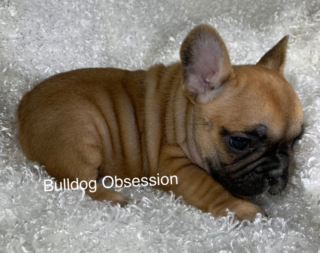 A picture of a Lola, one of Bulldog Obsession's Standard French Bulldogs