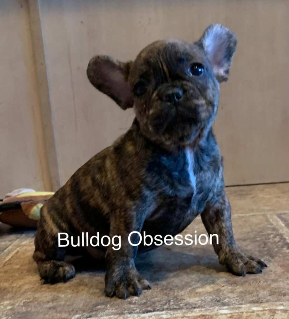 Larry came from Liana and Nugget's litter of  French Bulldogs