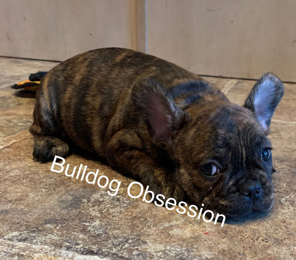 A picture of a Larry, one of Bulldog Obsession's  French Bulldogs