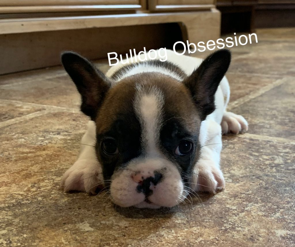A picture of a Simon, one of Bulldog Obsession's Standard French Bulldogs