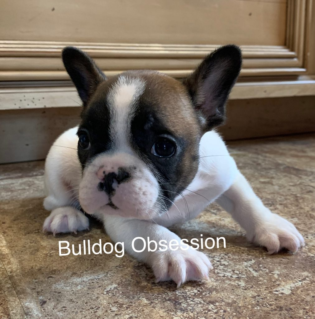 Simon came from Saphire and Marshall's litter of  French Bulldogs