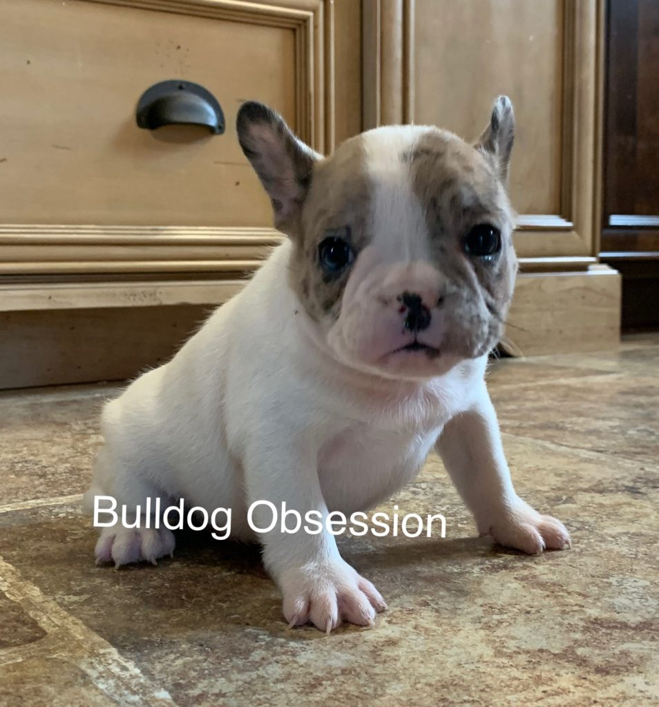 A picture of a Sonny, one of Bulldog Obsession's Standard French Bulldogs