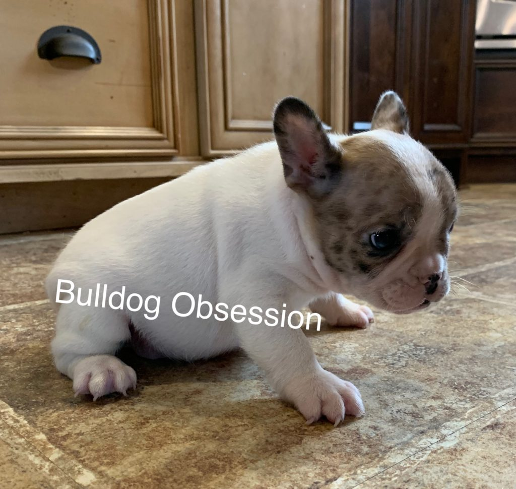 Sonny is an  French Bulldog that should have Nice and Compact.