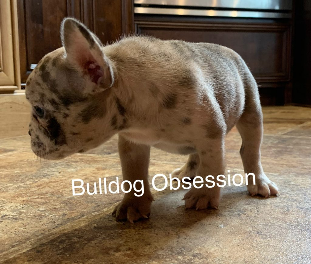 Simba came from Saphire and Marshall's litter of  French Bulldogs