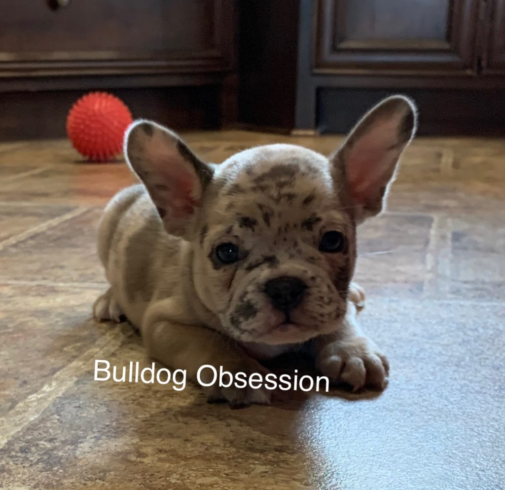 A picture of a Simba, one of Bulldog Obsession's Standard French Bulldogs