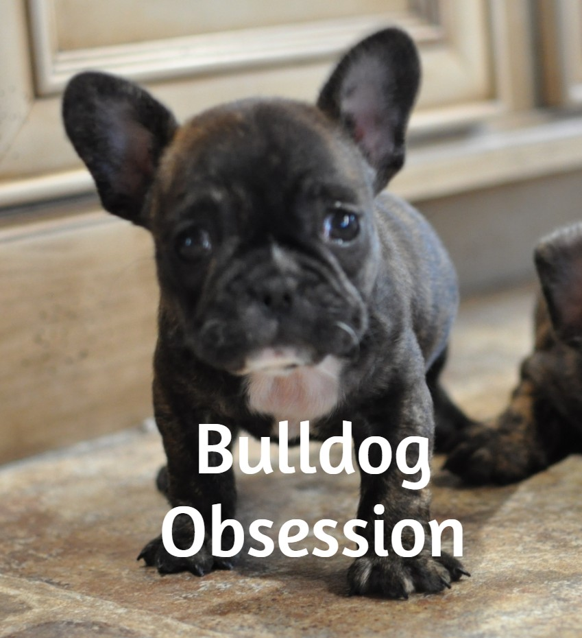 A picture of a Laura, one of Bulldog Obsession's  French Bulldogs