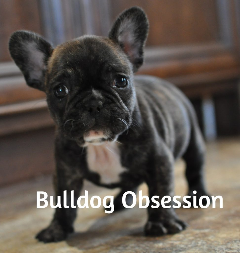 Laura is an  French Bulldog that should have