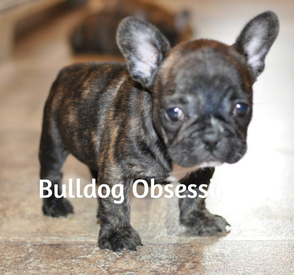 Laura came from Liana and Nugget's litter of  French Bulldogs