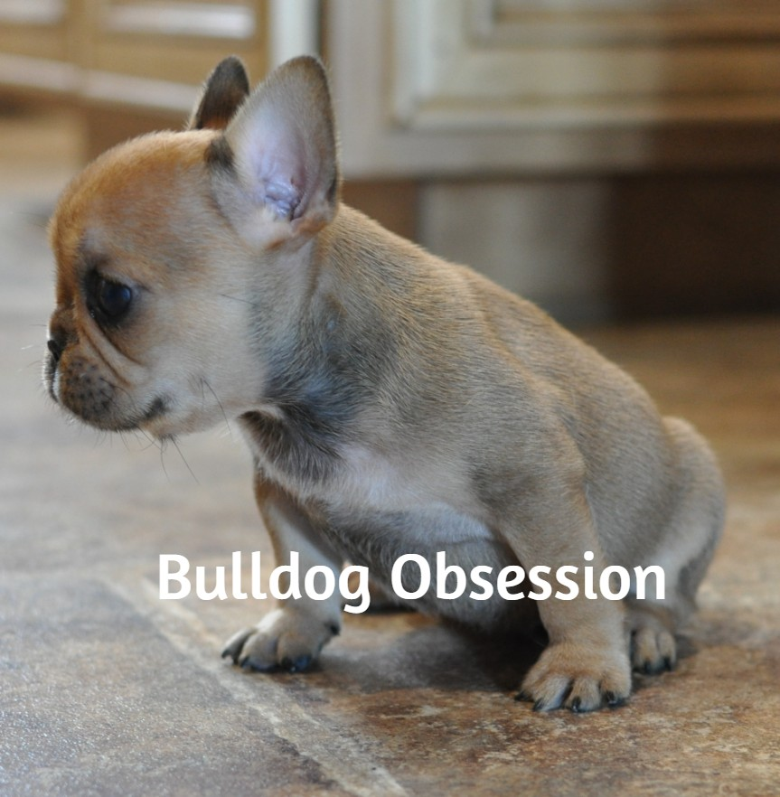 Lexi is an  French Bulldog that should have