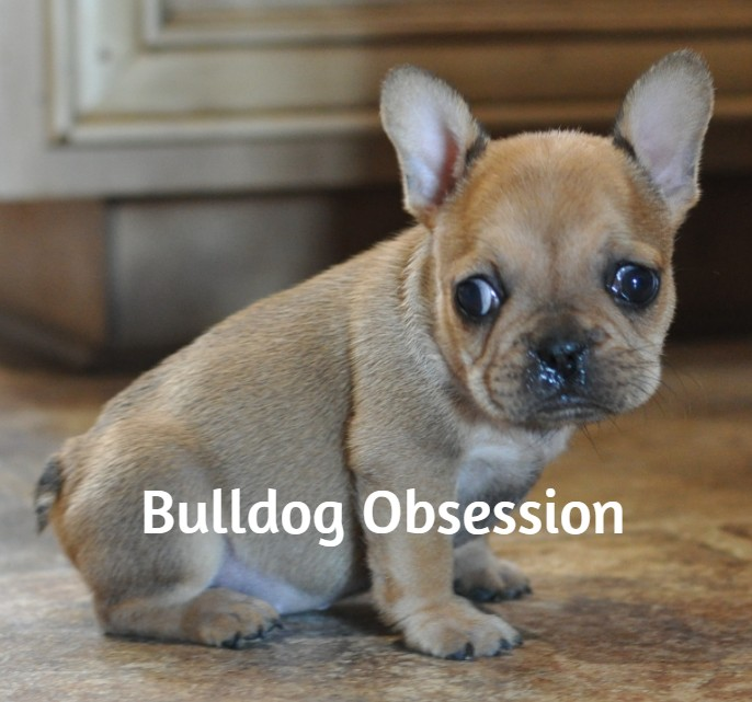 Lexi came from Liana and Nugget's litter of  French Bulldogs