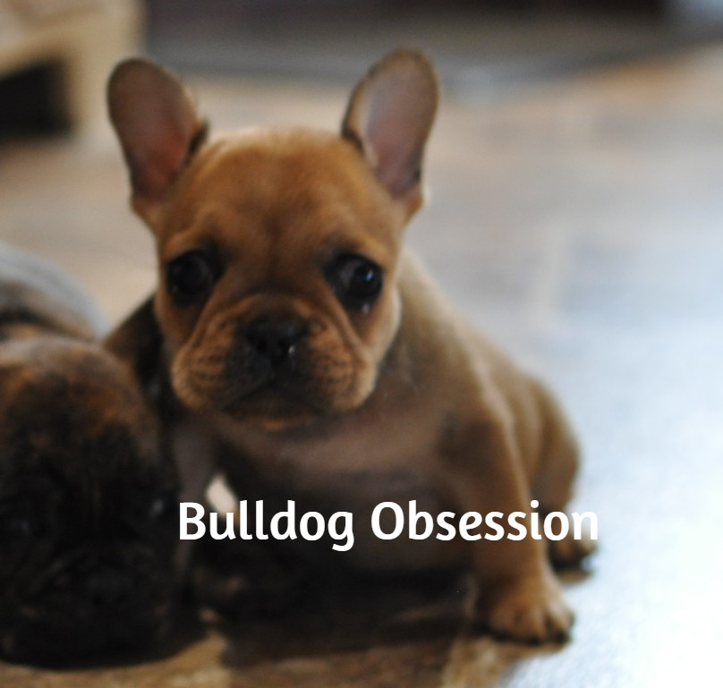 A picture of a Lexi, one of Bulldog Obsession's  French Bulldogs