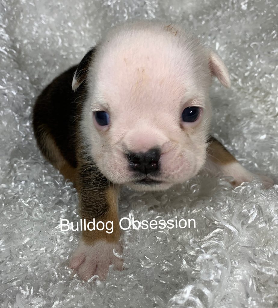 Reese came from Myia and Rockie's litter of  English Bulldogs