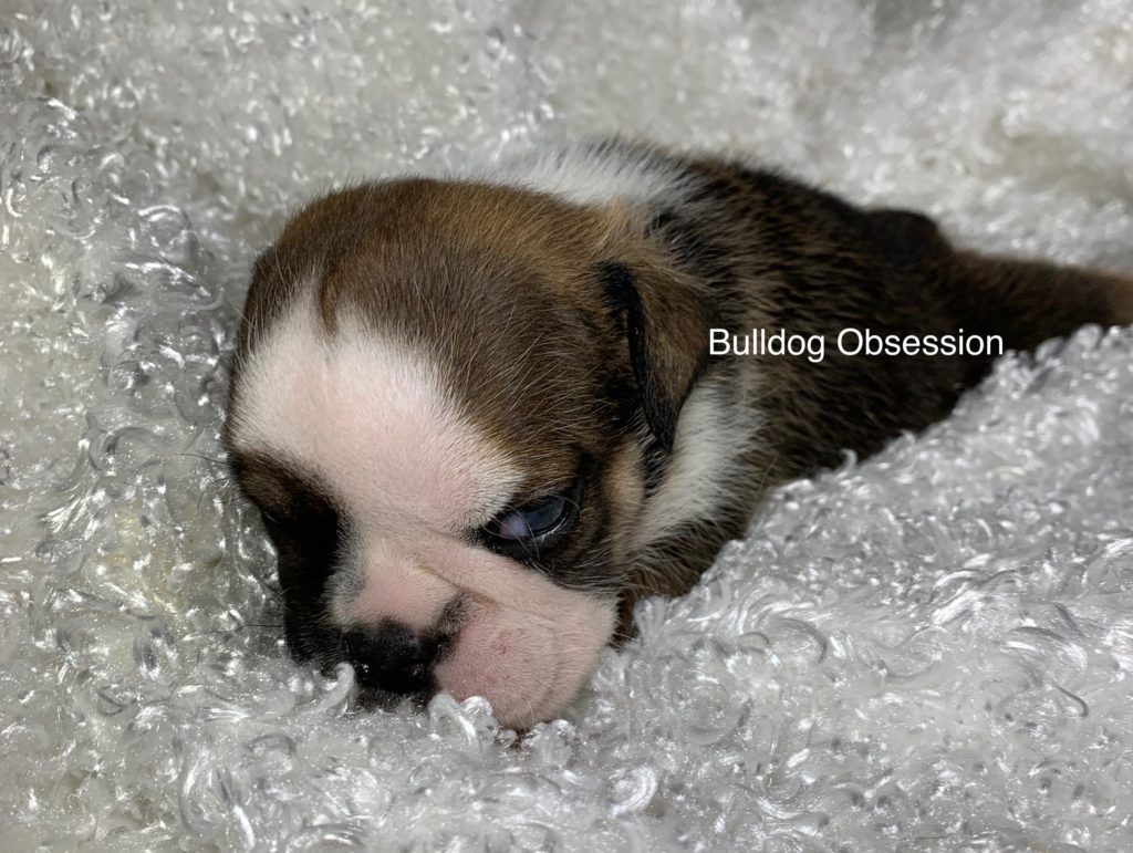 A picture of a Rex, one of Bulldog Obsession's  English Bulldogs