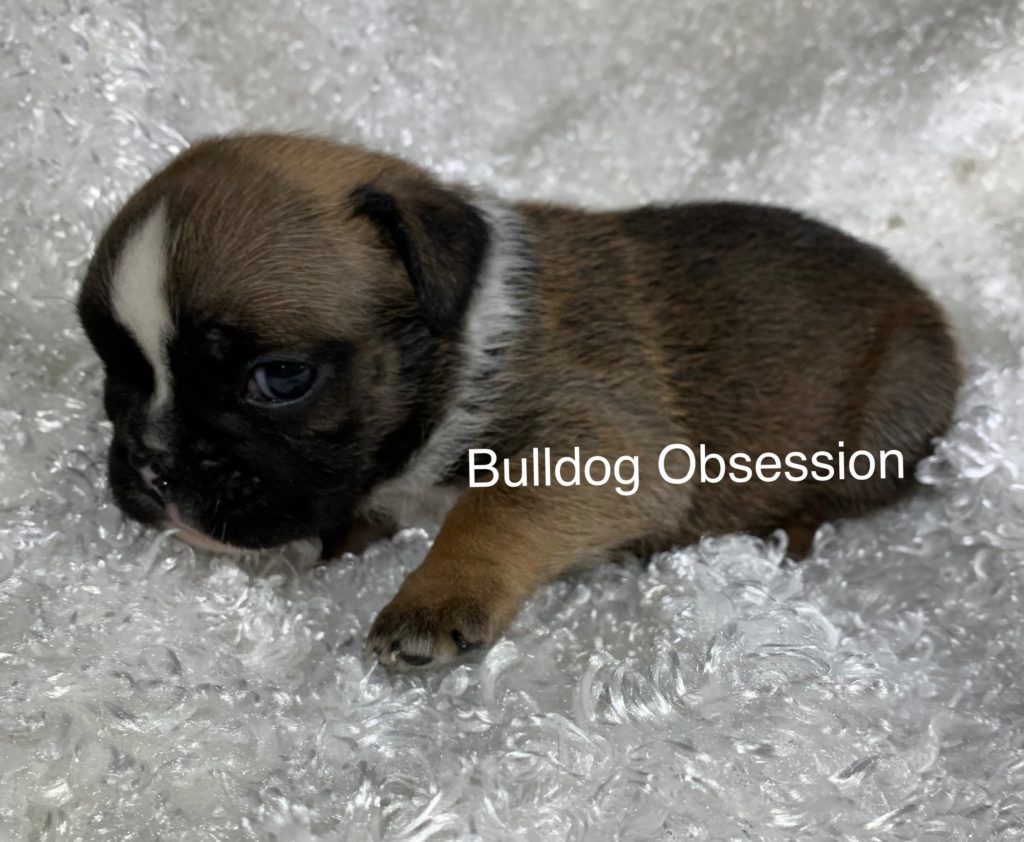 A picture of a Rubi, one of Bulldog Obsession's  English Bulldogs