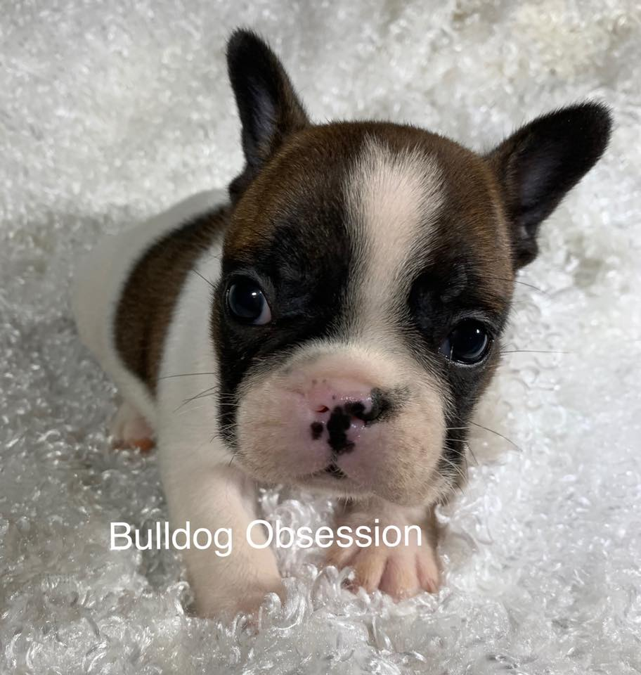 Standard French Bulldogs with Nice and Compact.